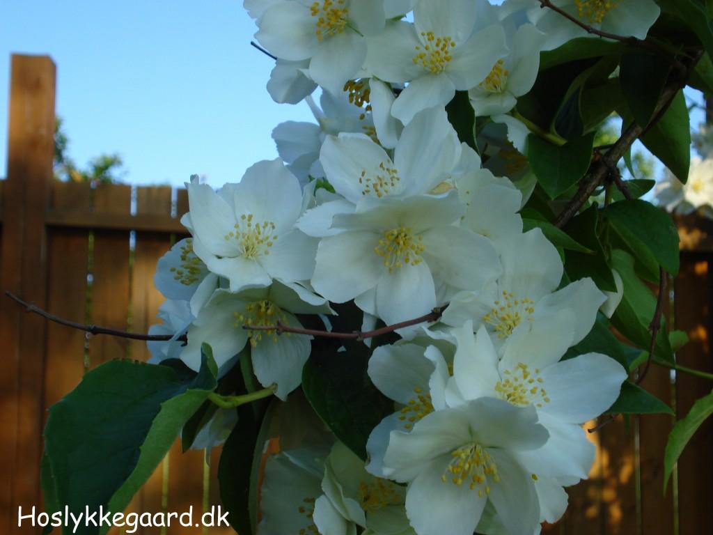 De smukke hvide blomster