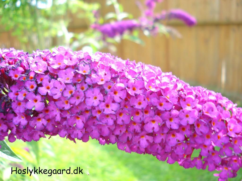 Min sommerfugle busk står i fuldt flor