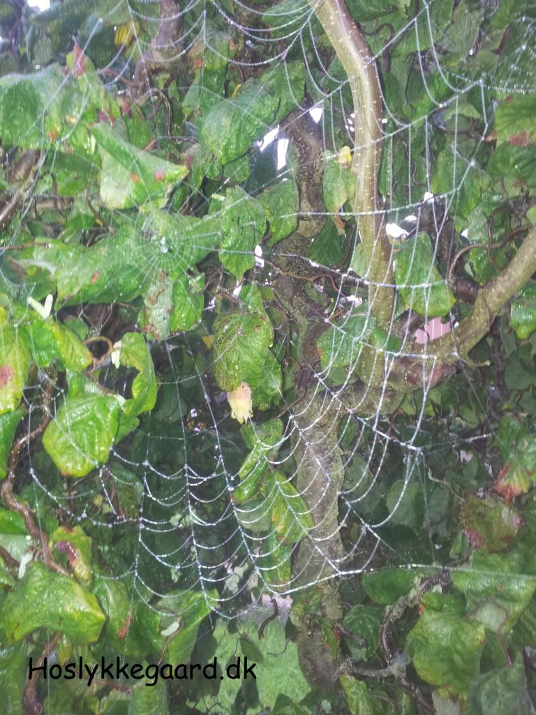 spindelvæv i troldhaslen