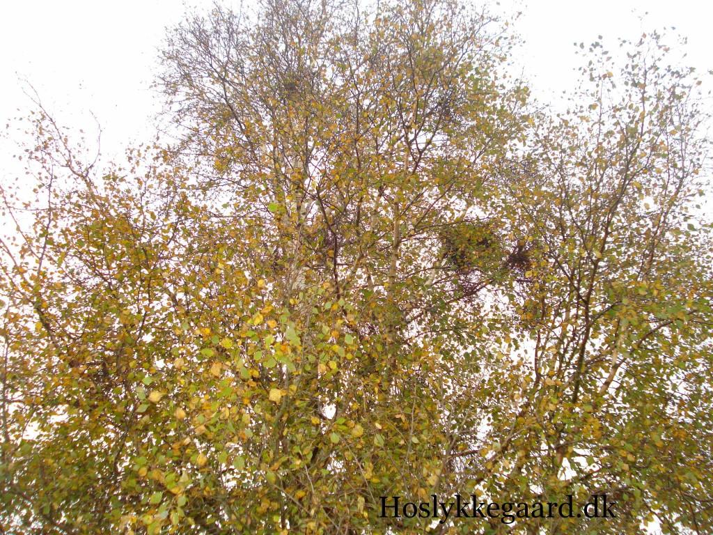 Et gyldnet birketræ