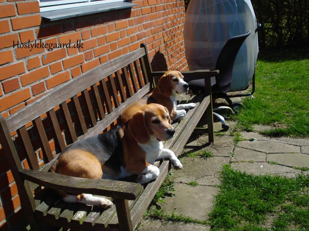 solskins krævende Beagler
