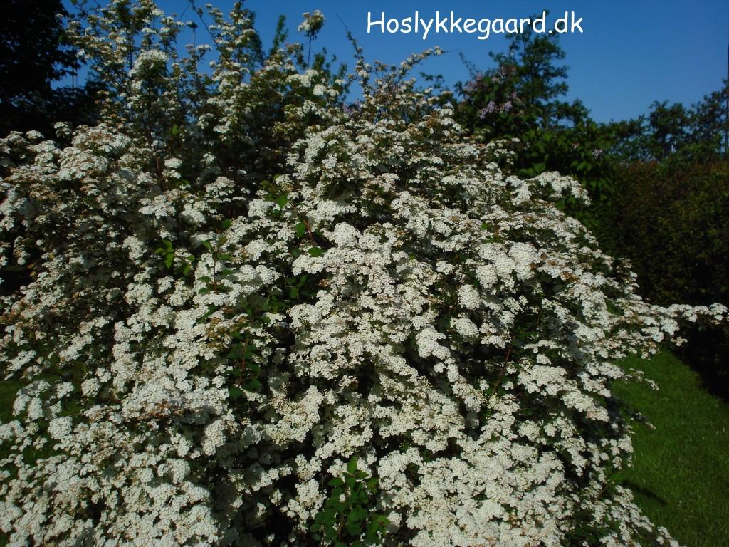 hvide blomster busk