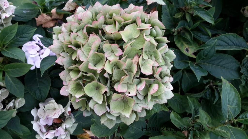 hortensiaerne er ved at blive grønne