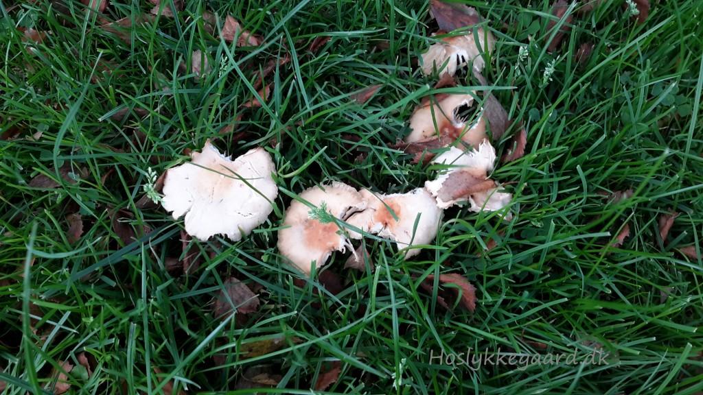 svampe i græsplænen