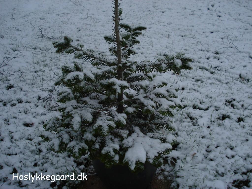 Det lille grantræ