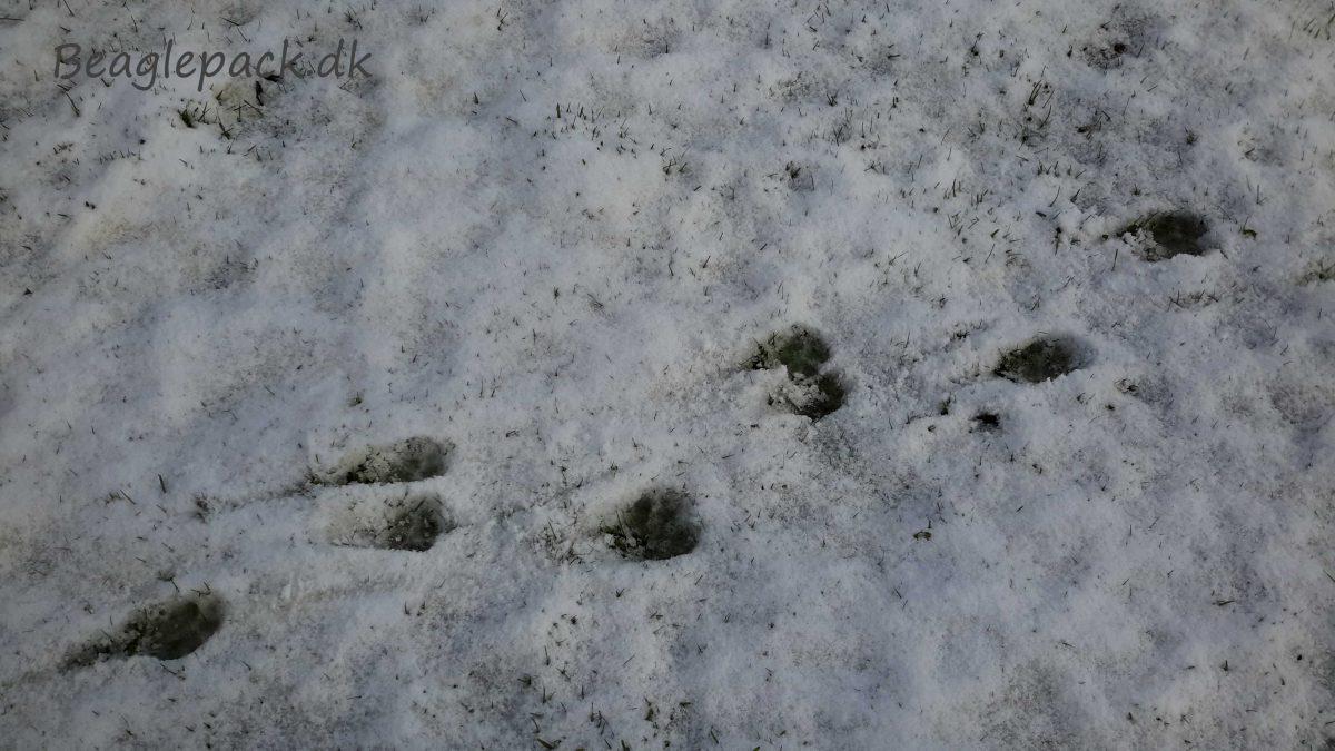 Beagle spor i sneen