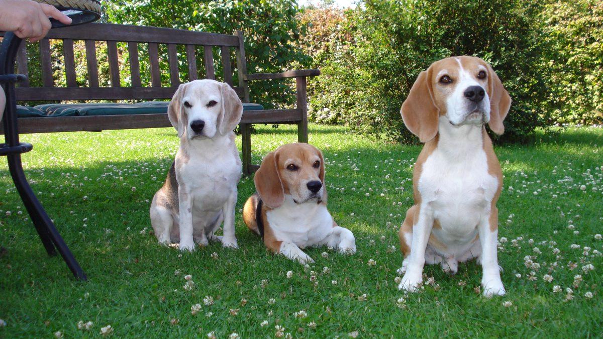 Beaglepack