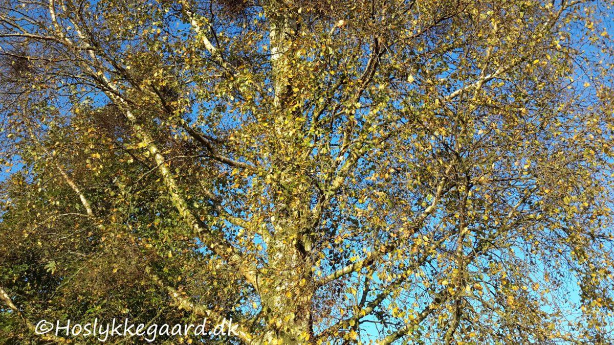 birketræet oktober 16