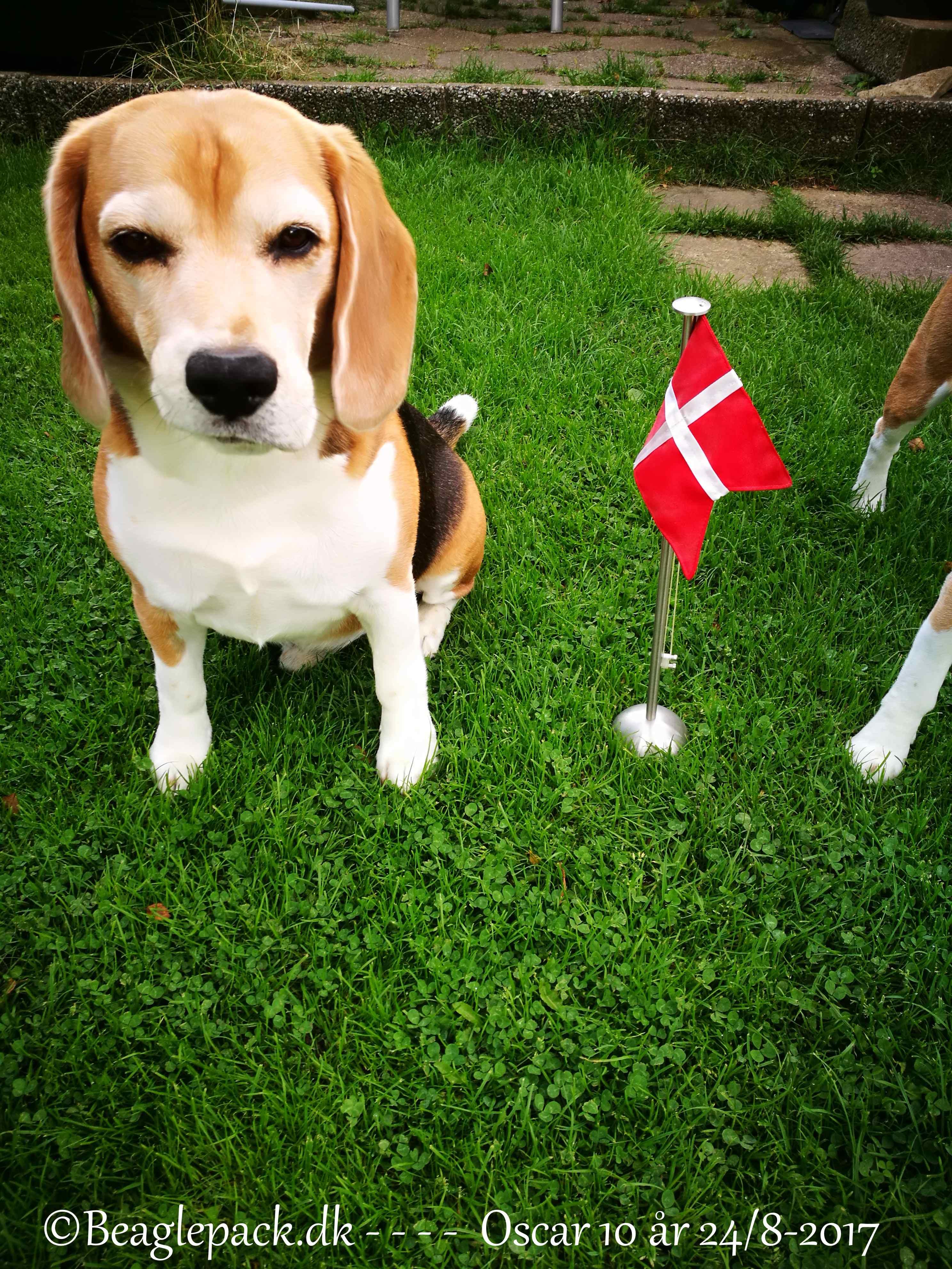 En helt unik beagle