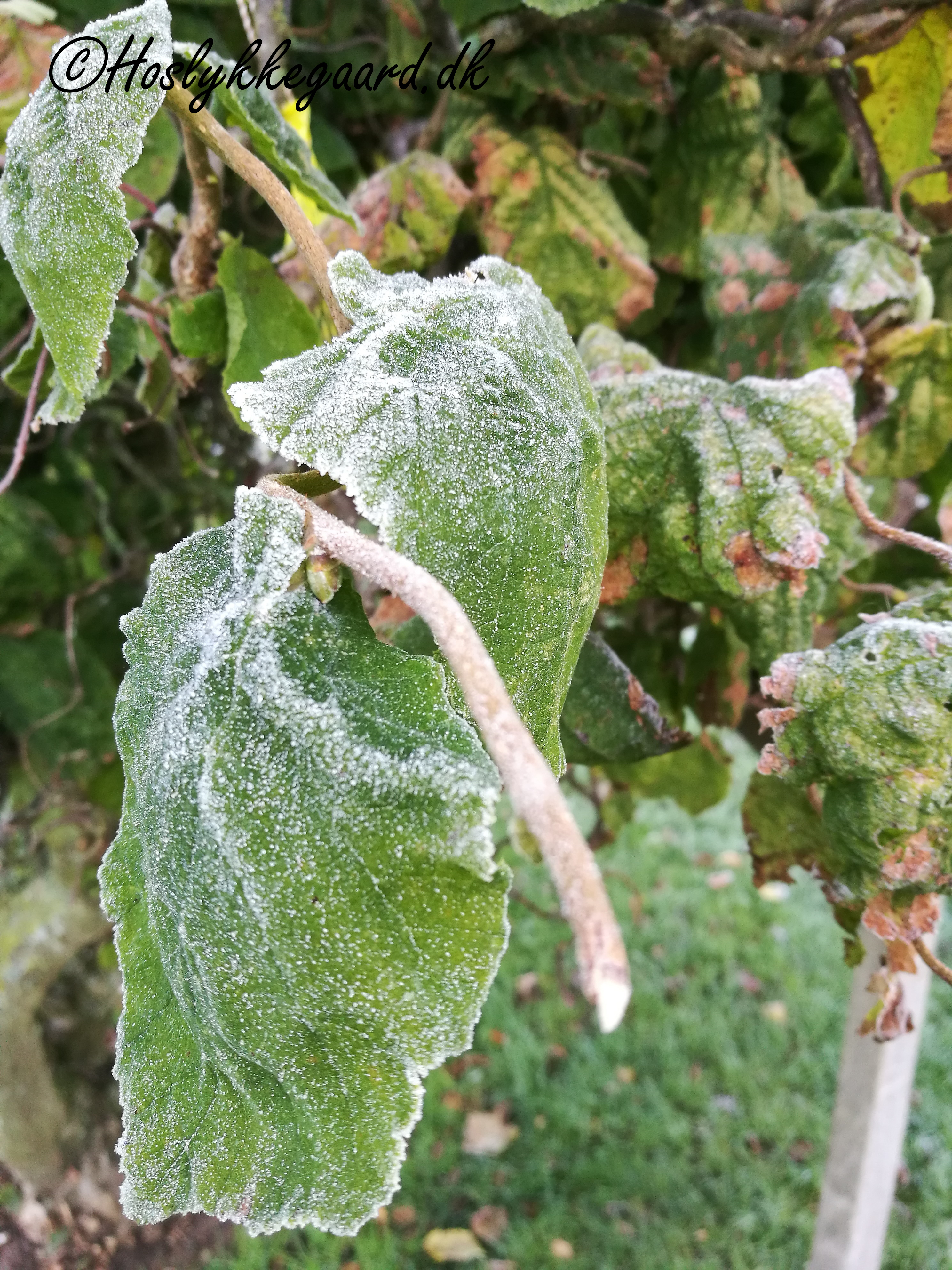Den første frost